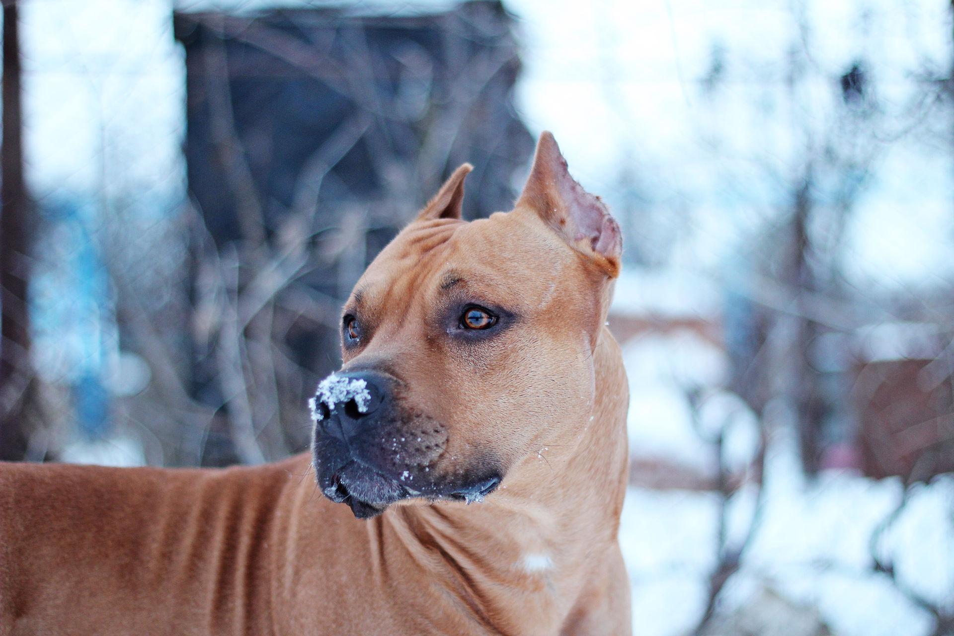 foto de Fonds d'écran American Staffordshire Terrier Regardez